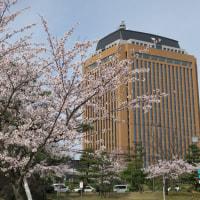 金沢の桜2017 その16 金沢大学、杜の里、県庁