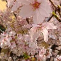 風にハラハラ散る桜花