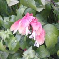 初冬のダイヤモンドリリーとベロぺロネの花