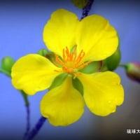 平良幸春花の写真集☆ 可愛いミッキーマウスツリーの花