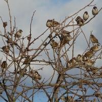 1月16日(月曜日)「雀の学校」(てまりさん)