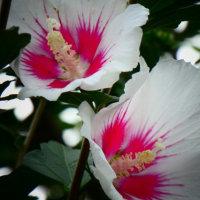 『季節の花』 木槿
