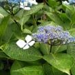 飛鳥山のアジサイ・旧古河庭園のバラ