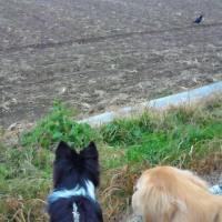 カラス追い犬ユリィ(笑)