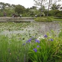 浜寺公園の睡蓮