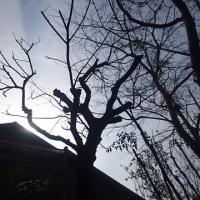 北庭 整備 梅の剪定から