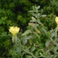 道ばたにコマツヨイグサの花