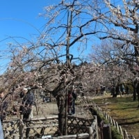 ぶらり旅・水戸の梅まつり④水戸の六名木etc(H29.2.25)