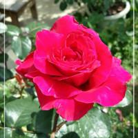 赤い薔薇。