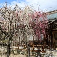 しだれ梅の名所・津市「結城神社」へ