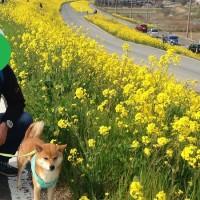 江戸川河川敷の菜の花