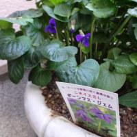 スミレの育て方11月 スミレの花を楽しむ  ボーンマス・ジェム開花中