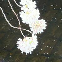 お花見行ったよ@中目黒