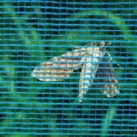 ススメガの蛹