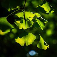イチョウの葉はまだ緑