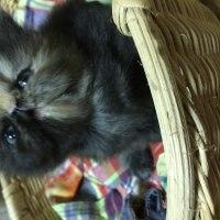 謹賀新年おめでとうございます!ペルシャ子猫の日曜の朝(=^x^=)