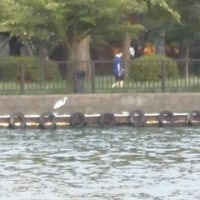 近頃の大川の鳥〜桜ノ宮付近