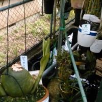 元気良く伸びるリカステの新芽
