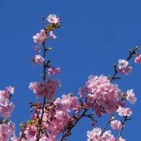 ここは春の国~河津桜便り~
