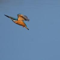 今日の野鳥・・・カワセミ・・・近場の公園で【その1】。。