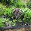 7月18日の<わたしの野菜畑>写真一挙掲載(^O^)/