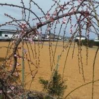 我が家の枝垂れ梅 次々に開花