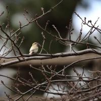 岡崎公園の白いシジュウカラ その73