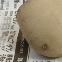 種芋の準備とタイヤバルブ破損