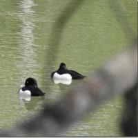 久々の鳥撮り(キンクロハジロ)