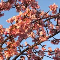 河津桜が咲いた