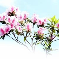 ツツジ (花 4422)