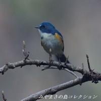 今日の鳥コレクション・・・ルリビタキ