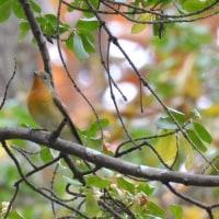 晩秋の旅鳥ムギマキ