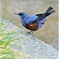 今日の野鳥   ヒソヒヨドリ・クロガモ・ミサゴ・オナガガモ・キンクロハジロ