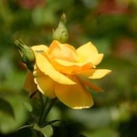 春の花の女王様はバラですネ