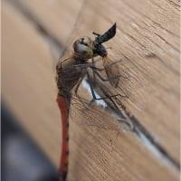 ★里山の秋の生き物(昆虫)