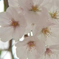 なんとか満開の桜を撮りに行けました