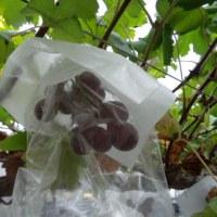 広島のどんぐり村でブドウ狩りに行きました