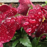 雨の日の花壇…ヒュウガミズキがカエルに