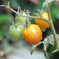 頑張って育ってほしいミニトマト