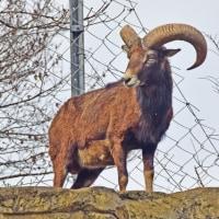 ムフロン「野生羊」