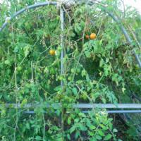 トマト復活