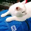 7月17日(月)のつぶやき 腰を揉んでるニャ。この辺りが凝ってるかニャ? #白猫 #猫 #cat #マッサージ 白猫ミルコ @mirko_cat