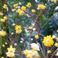 ミツマタの花・・・鹿児島の風景