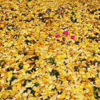 『季節の色』 黄葉