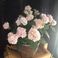 心導ヒーリングが母の日のプレゼント。 The present by which Shindo healing is Mother's Day.