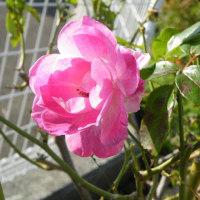 初冬のベロぺロネとピンクのバラ