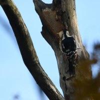 枯れ木に、アカゲラが穴を掘っていた。