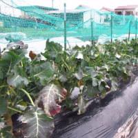 3月いっぱい収穫します、「三重なばな」と「茎ブロッコリー」