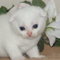 スコティッシュフォールドの子猫の販売なら/宮城県・仙台のペットショップ/名取市/角田市・セール開催中